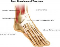 Image of the achilles and other foot muscles and tendons