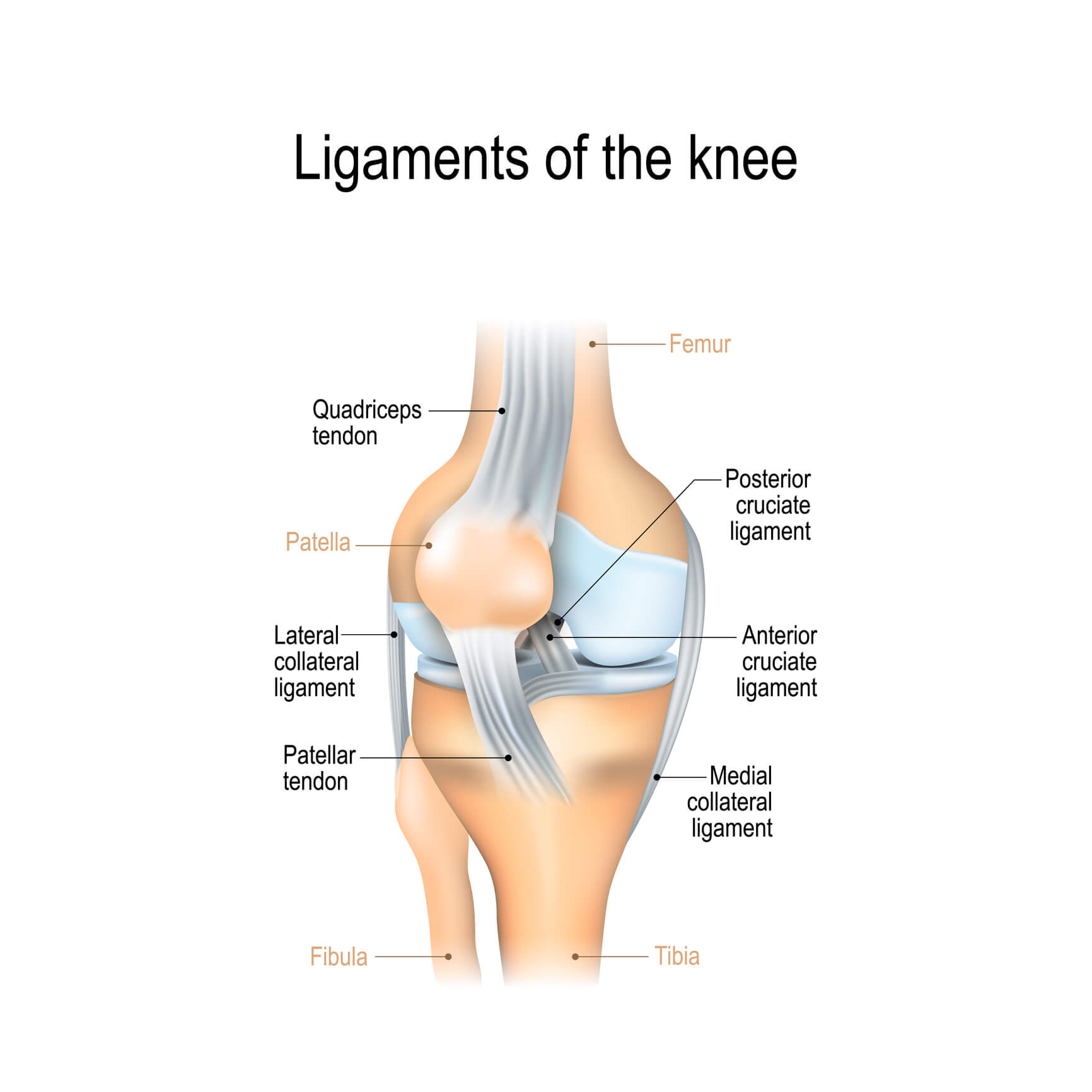 Image of a knee and its ligaments, including PCL, MCL, LCL and ACL.