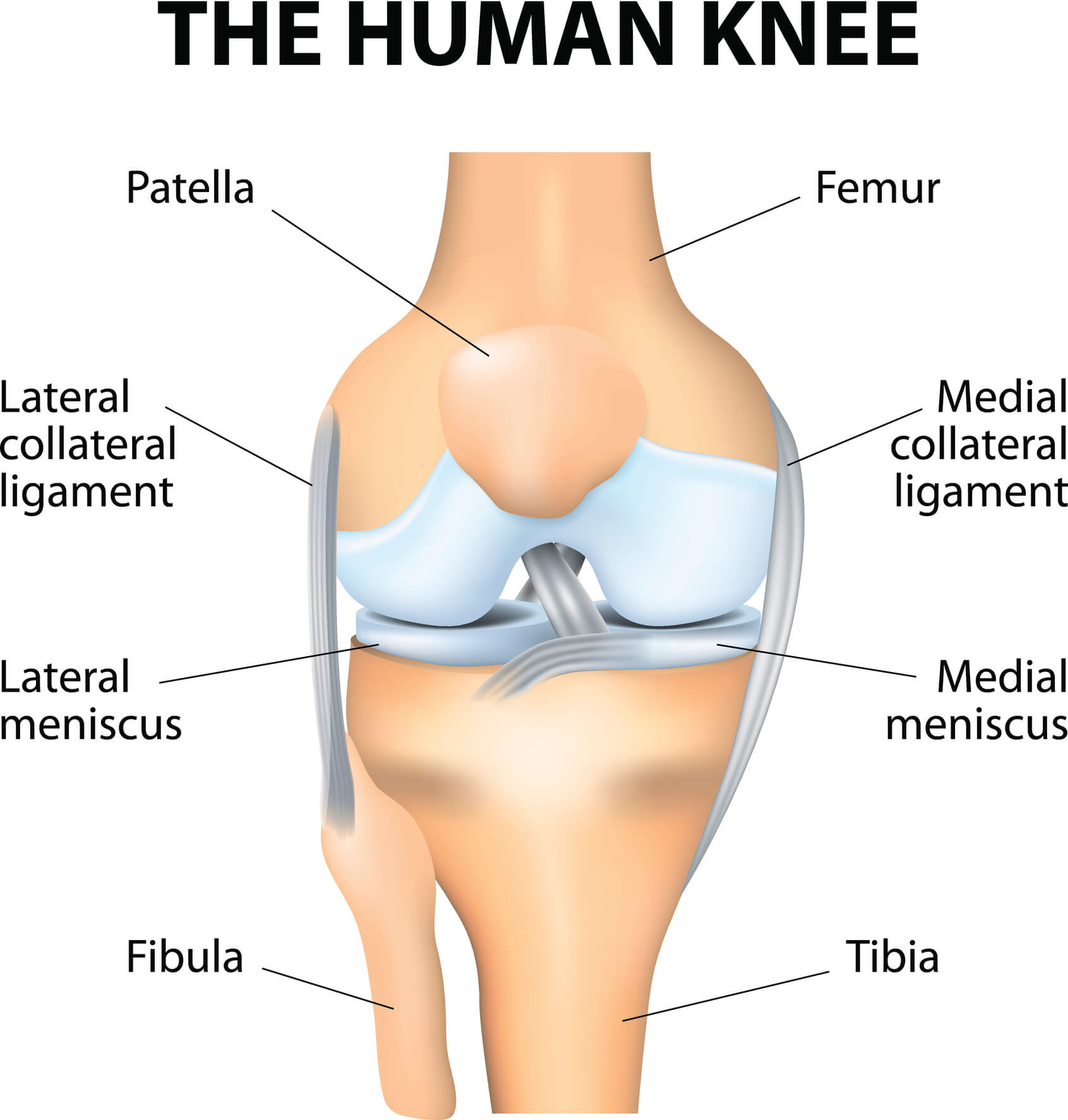 Image of the knee and both medial and lateral menisci