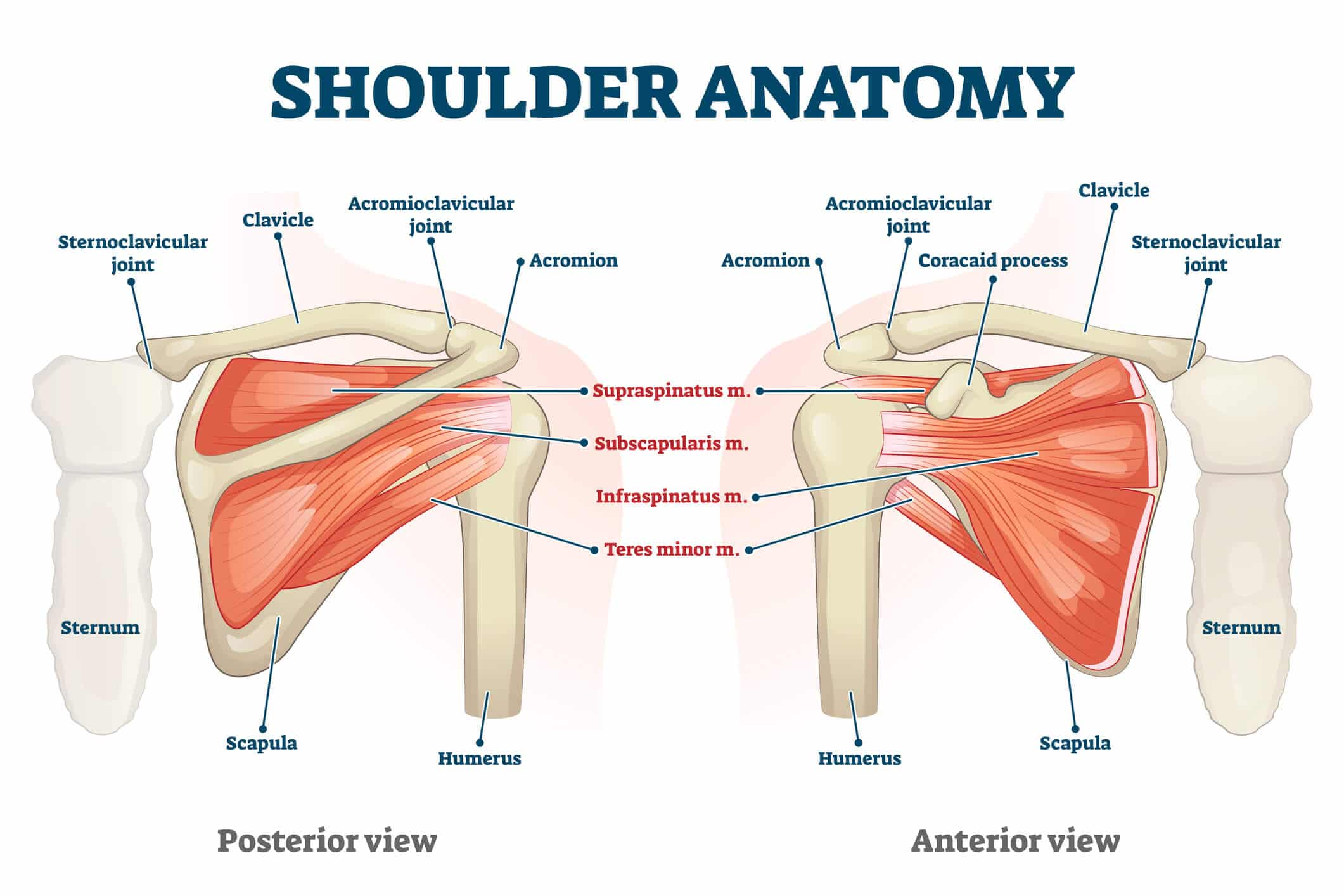 Image of the anatomy of the shoulder, including the clavicle, scapula and humerus that together comprise the shoulder capsule affected by the frozen shoulder condition