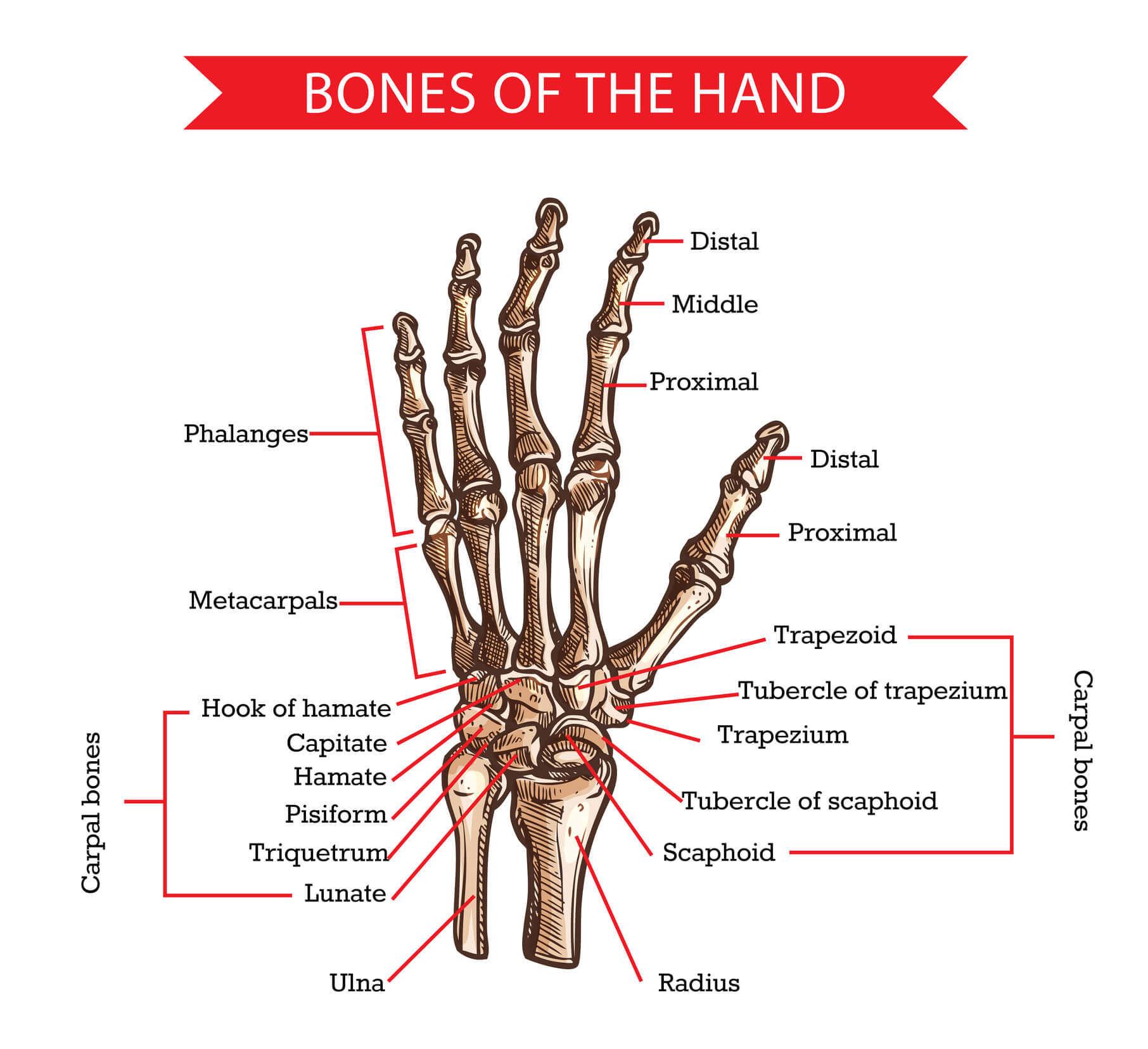 Image of the bones of the wrist and hand